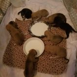 Cadies pups first meal